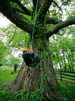 Climbing a big Bur Oak ~ by Chris O'Bryan